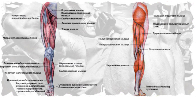 kak-nakhachat-nogi-kvadricepsi-i-bicepsi-beder_2